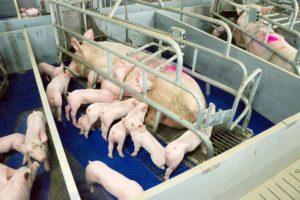 養豚場 子豚の圧死防止バランスフロア
