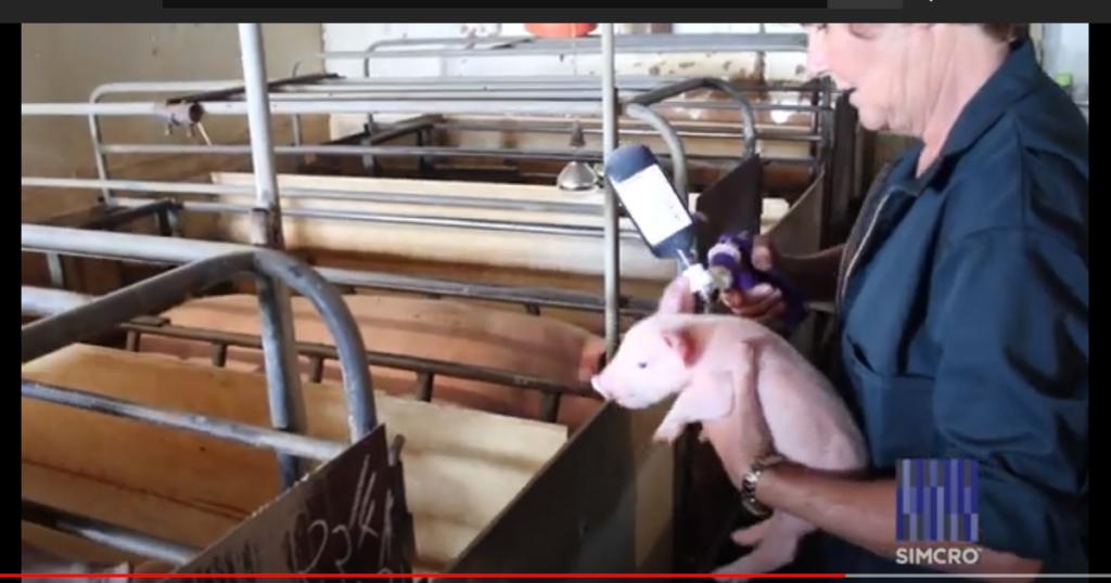 豚・牛・鶏・動物用ワクチン薬品連続投与器・注射器の使い方豚のワクチン接種に