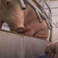 仔豚の圧死防止 養豚場 分娩豚房のバランスフロア