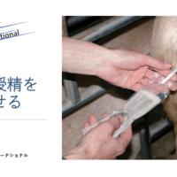 豚人工授精を成功させる方法